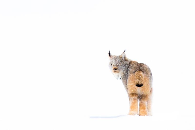 Canada Lynx | Glacier National Park